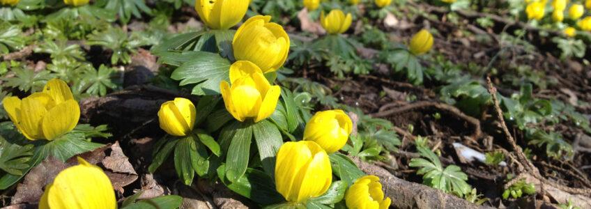 Kleine gele kopjes brengen een beetje voorjaar…
