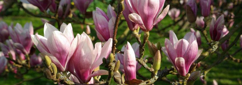 Magnolia staat op springen…